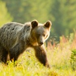 Photographing brown bears in Slovakia