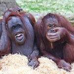 BLACKPOOL ZOO ORANGUTANS MOVE INTO THEIR NEW LUXURY PAD