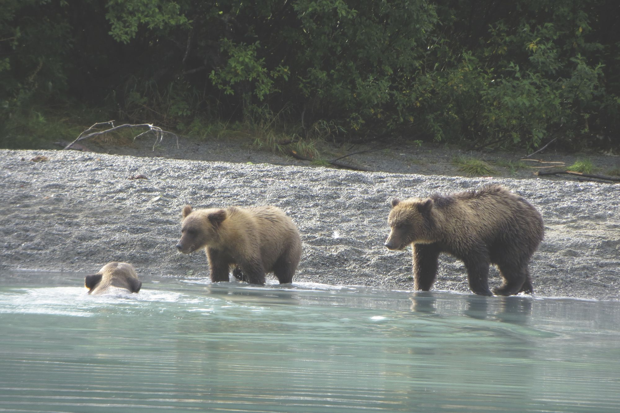Crescent Lake bears - Alaska