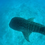Swimming With Whale Sharks In Bicol