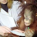 Orangutan paints for charity