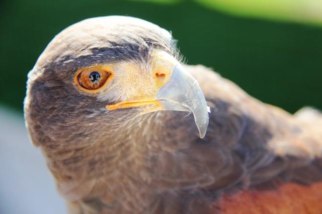 Las Colinas Falcon.PG