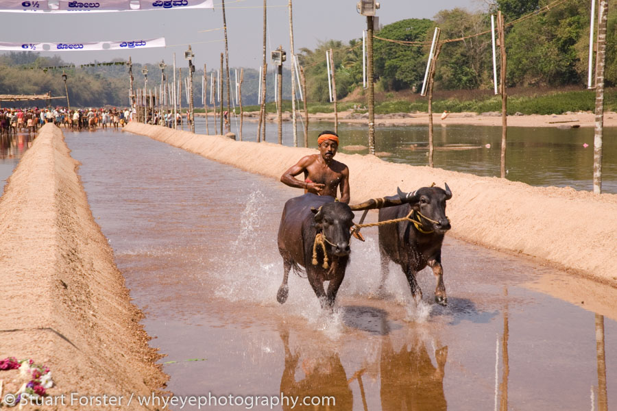 A man races a pair of buffaloes during a Kambala meeting in the Dakshina Kannada region of Karnataka, India. The deliberately water-logged racing tracks are known as jodukere kambalas. This one is set in the Kadri river. Successful racers become regional celebrities. About 45 meetings are held each season, which runs between November and March.