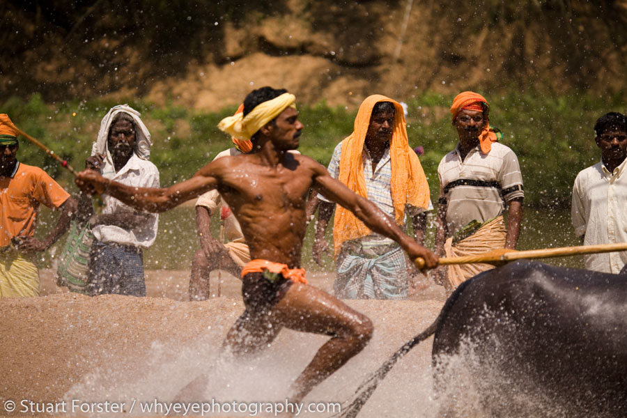 A Kambala race meeting in the Daskshina Kannada region of Karnakata, India, on 09 March 2008.