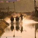 Kambala Buffalo Racing in South India