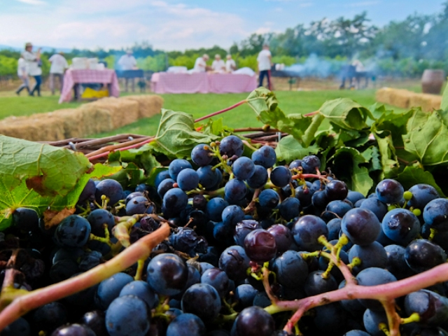 grape-harvest-feast
