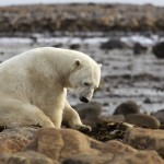 On the trail of polar bears in Manitoba